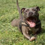 Update – Hoog-risico honden (video)