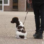 Je puppy uitlaten – Hoe vaak, hoe lang en hoe inspannend?